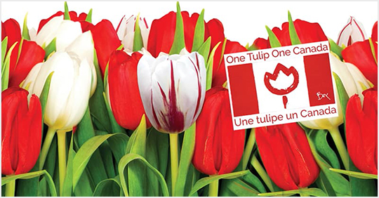 Red and white tulips with a Canada memo