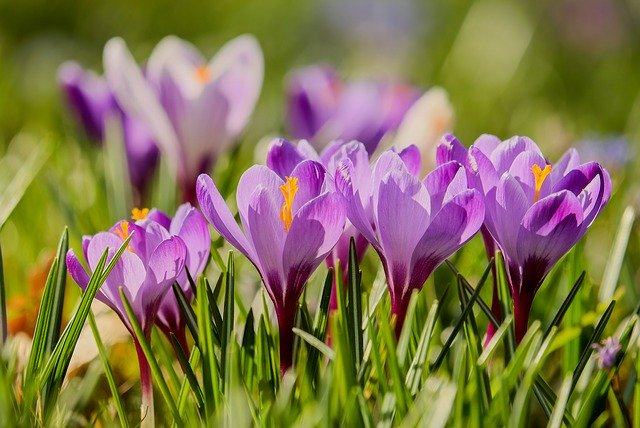 purple crocus in the field